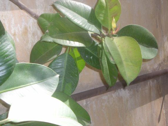 Ficus elastica (da esterno)   Forum di Giardinaggio.it
